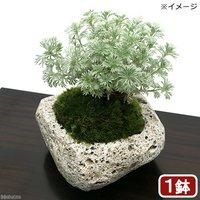 苔盆栽 アサギリソウ(朝霧草)~白溶岩石鉢~ Sサイズ(1鉢)