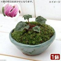 苔盆栽 原種シクラメン ヘデリフォリウム 桃花 平小鉢植え 鉢色おまかせ(1鉢)