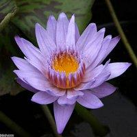 睡蓮 熱帯性睡蓮(スイレン)(青紫) バグダッド(1ポット)(ムカゴ種)