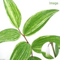 白縞斑アマドコロ(白縞斑甘野老) 3.5号(1ポット) (休眠株)