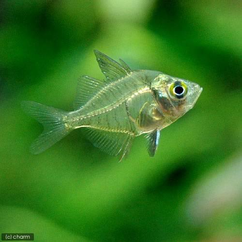 (熱帯魚)インディアングラスフィッシュ(3匹) 北海道航空便要保温
