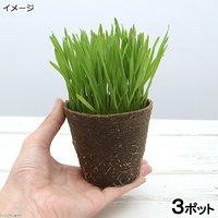 ウィートグラス 直径8cmECOポット植え(無農薬)(3ポット) 小麦若葉 生牧草