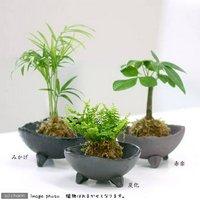 苔玉 おまかせ観葉 Ver.水苔(1個) コケ玉