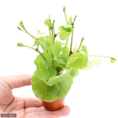 (水草)アマゾンチドメグサ ミニ素焼き鉢(水上葉)(無農薬)(1鉢)