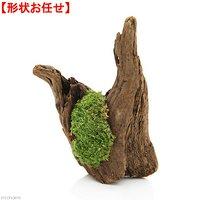 形状お任せ ディスプレイ用流木 ヤマゴケ付き 1本 約15~25cm
