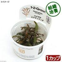 組織培養1-2-GROW! ハイグロフィラ ピンナティフィダ トロピカ製(無農薬)(1カップ)