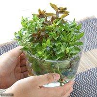 朝摘み水上葉4種(無農薬)(計20本)とバブルジェリーセット