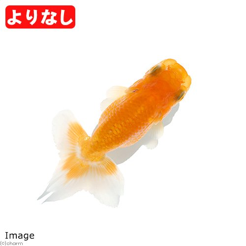 (国産金魚)よりなし(無選別)宇野系らんちゅう/宇野系ランチュウ 素赤〜更紗(3匹)