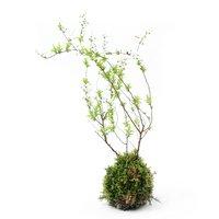 苔玉 ユキヤナギ(雪柳)(1個)観葉植物 コケ玉 休眠株