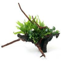 一点物 巻きたて 活着性水草 2種付 流木(450106)(1本)