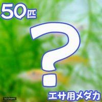 生餌 エサ用メダカ/えさ用めだか(50匹)