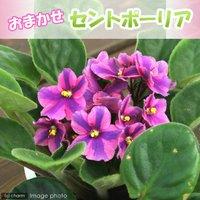 セントポーリア 品種おまかせ 3.5号(1鉢)