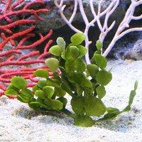 海藻 ウチワサボテングサ 岩なし(1株)