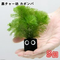メダカ・金魚藻 黒チャー坊 カボンバ(5個)