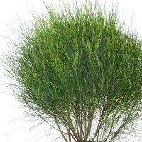 カスアリナ 玉木麻黄(タマモクマオウ) 8号(1鉢) 北海道冬季発送不可