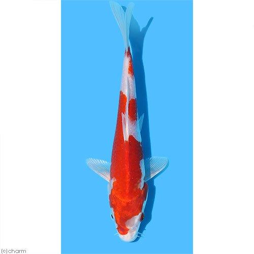 (錦鯉)桜黄金/サクラオウゴン ニシキゴイ 8〜13cm(1匹)