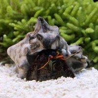 ヤドカリ サンゴヨコバサミ(1匹)