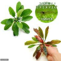 (水草)おまかせエキノドルス 2種(無農薬)(各1株)+ミナミヌマエビ(10匹)