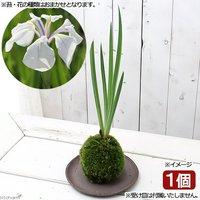苔玉 カキツバタ(品種おまかせ)(1個) 観葉植物 コケ玉