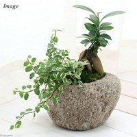 苔盆栽 ガジュマル&プミラ 抗火石鉢植え Mサイズ(1鉢)