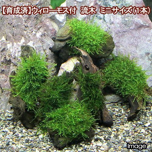 (水草)育成済 ウィローモス 流木 ミニサイズ(8cm以下)(無農薬)(1本)