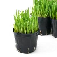 長さで選べる ペットグラス 燕麦(短め) 3号(3ポット) 無農薬