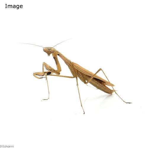 (昆虫)コカマキリ 褐色型 オス(1匹)