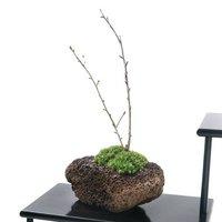 苔盆栽 品種おまかせさくら(桜) 溶岩石鉢植え(1鉢)