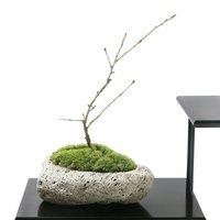 苔盆栽 サクラ(桜)富士桜 ~白溶岩石鉢~ Sサイズ(1鉢)(休眠株)