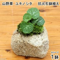 苔盆栽 抗火石鉢植え ユキノシタ (1鉢)