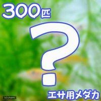 生餌 エサ用メダカ/えさ用めだか(300匹)