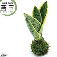 苔玉 サンスベリア Ver.這苔(1個)