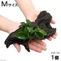 アヌビアスナナ リンクルリーフ 流木付 Mサイズ(1本)(約20cm)