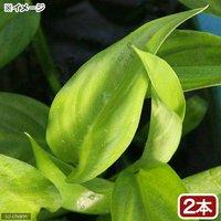 ヤマサキカズラ(無農薬)(2本)