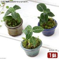 盆栽 豆鉢 苔盆栽 Ver.ミヤマウズラ(1鉢) (休眠株)