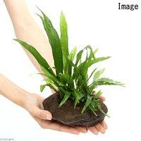 溶岩石鉢 寄せ植えミックス Ver.ミクロソリウム(1個)