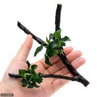 アヌビアスナナ プチ 枝状流木付 Sサイズ(1本)(10cm~)
