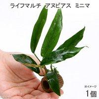 ライフマルチ(茶) アヌビアス ミニマ(1個)