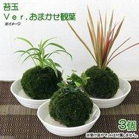 苔玉 おまかせ観葉(3個) 観葉植物 コケ玉