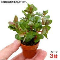 プチ素焼き鉢 ロタラsp.香港(水上葉)(無農薬)(3鉢)