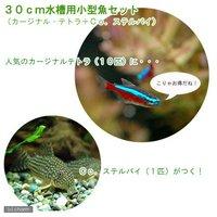 30cm水槽用小型魚セット(カージナルテトラ10匹+Co.ステルバイ1匹)
