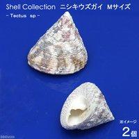 貝殻 シェルコレクション ニシキウズガイ Mサイズ(2個) 形状おまかせ