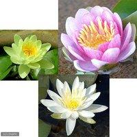 睡蓮 温帯性睡蓮(スイレン)3色セット 桃黄白(各1株ずつ)