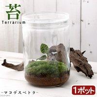 苔Terrarium マコデスペトラ ガラスボトルL(1ポット) 説明書付 ジュエルオーキッド