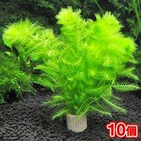 メダカ・金魚藻 ライフマルチ(茶) ウトリクラリア アウレア(ノタヌキモ)(無農薬)(10個)