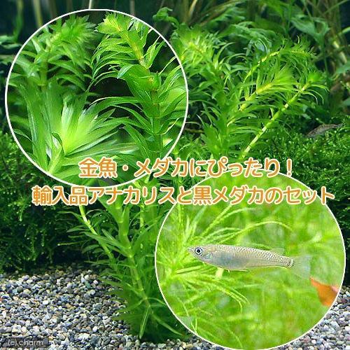(めだか)(水草)クロメダカ(6匹) +アナカリス(輸入品)(5本)