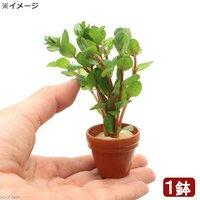 プチ素焼き鉢 ロタラ ロトンディフォリア コロラタ(水上葉)(無農薬)(1鉢)