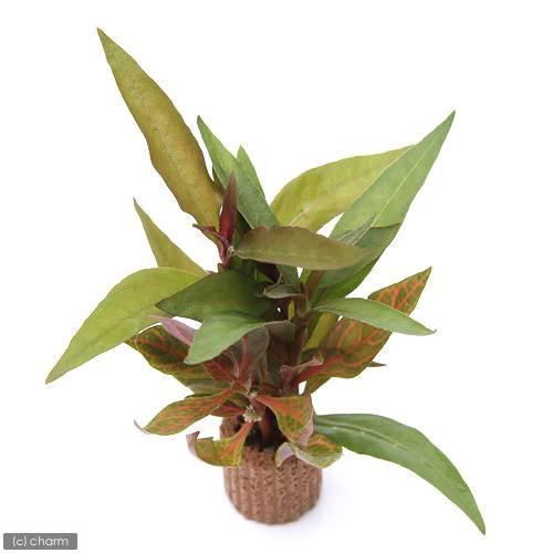 (水草)ライフマルチ(茶) アルテルナンテラミックス(水上葉)(無農薬)(1個) 北海道航空便要保温