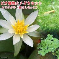 (めだか)ビオ植物とメダカセット ヒツジグサ 鉢なしセット 説明書付  (休眠株)
