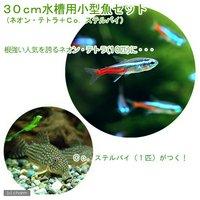 30cm水槽用小型魚セット(ネオンテトラ10匹+コリドラスステルバイ1匹)